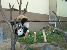 jolve会 赤ちゃんパンダを見てキレイになる会